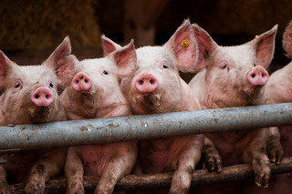 Food Industry Leaders Turn to More Humane Supply Chains